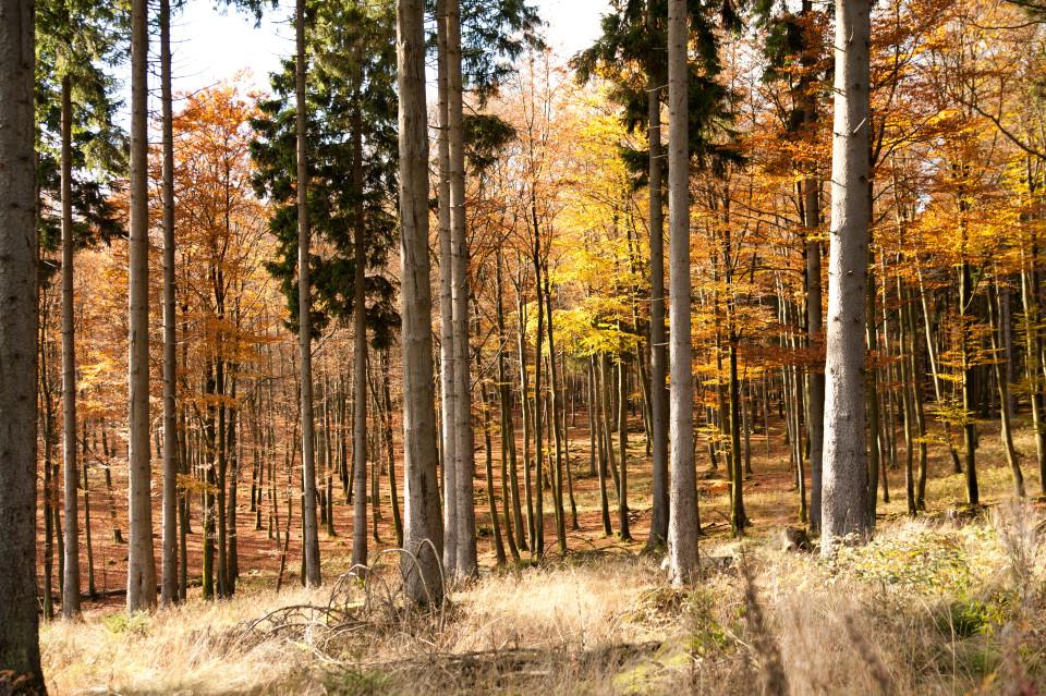 Der Wittgensteiner Wald